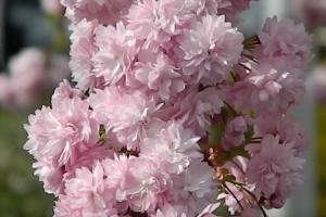 Prunus Pink Perfection