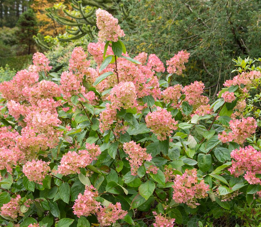Oxford Garden Design. Create your Dream Garden with Our Award winning Designers Sheena s Plant of the Month for August  Hydrangea paniculata