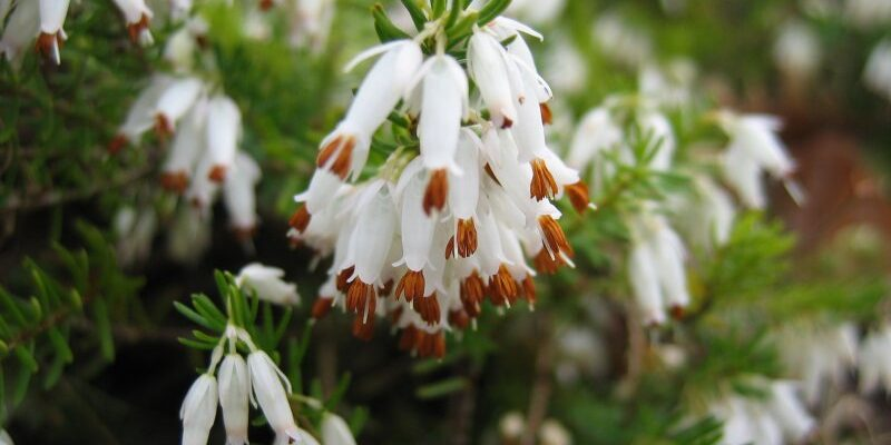 "Featured image for ""Sheena's Plant of the Month: Erica carnea 'Springwood White'"""