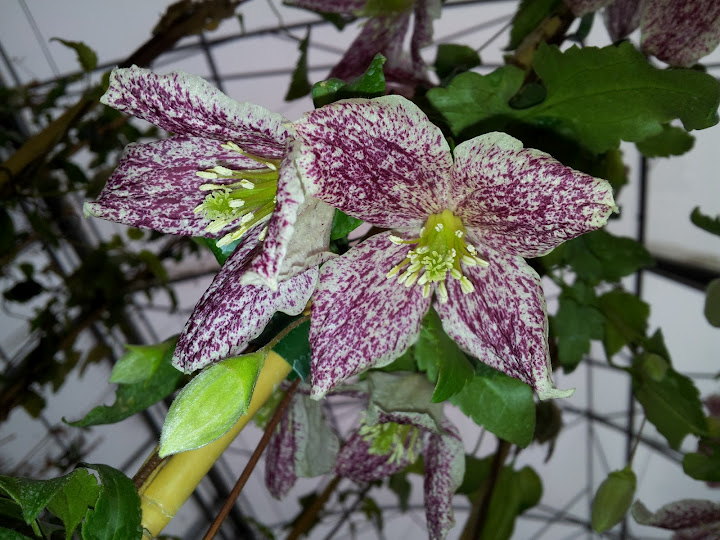 "Featured image for ""Sheena's Plant of the Month: Clematis cirrhosa 'Freckles'"""