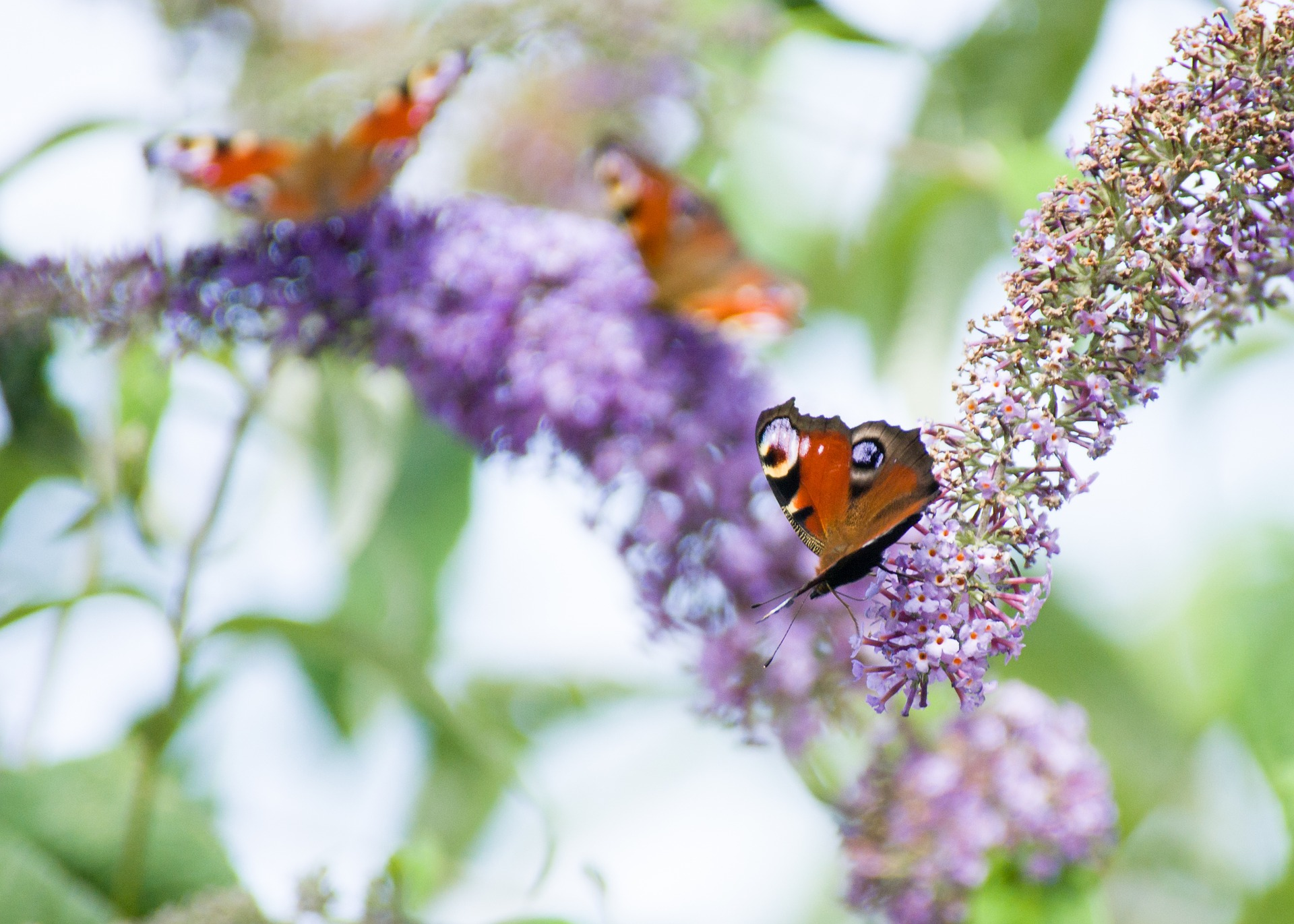 buddleia with butterfly
