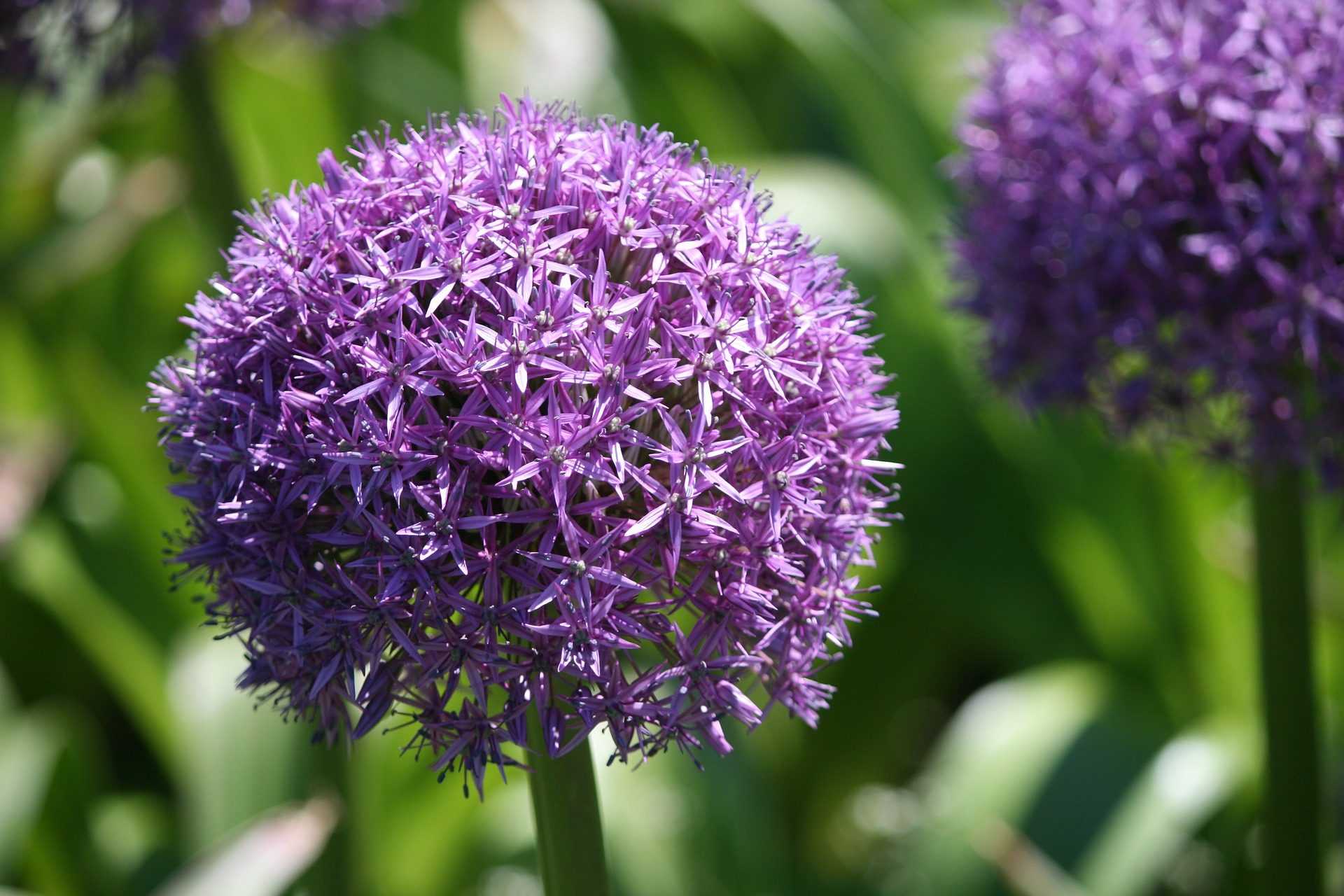 """Featured image for """"Sheena's Plant of the Month: Alliums"""""""