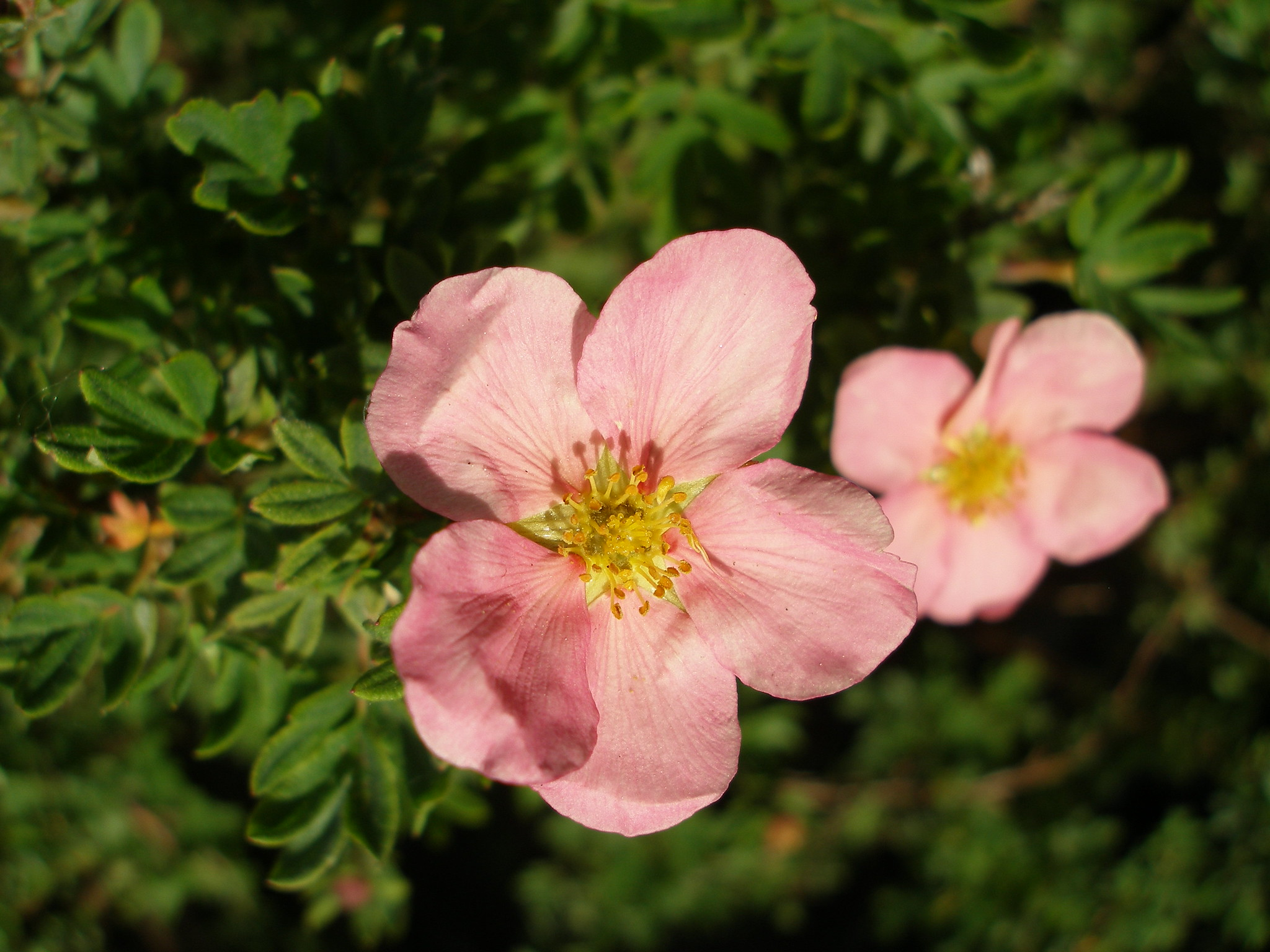 """Featured image for """"Sheena's Plant of the Month: Potentilla fruticosa 'Princess'"""""""