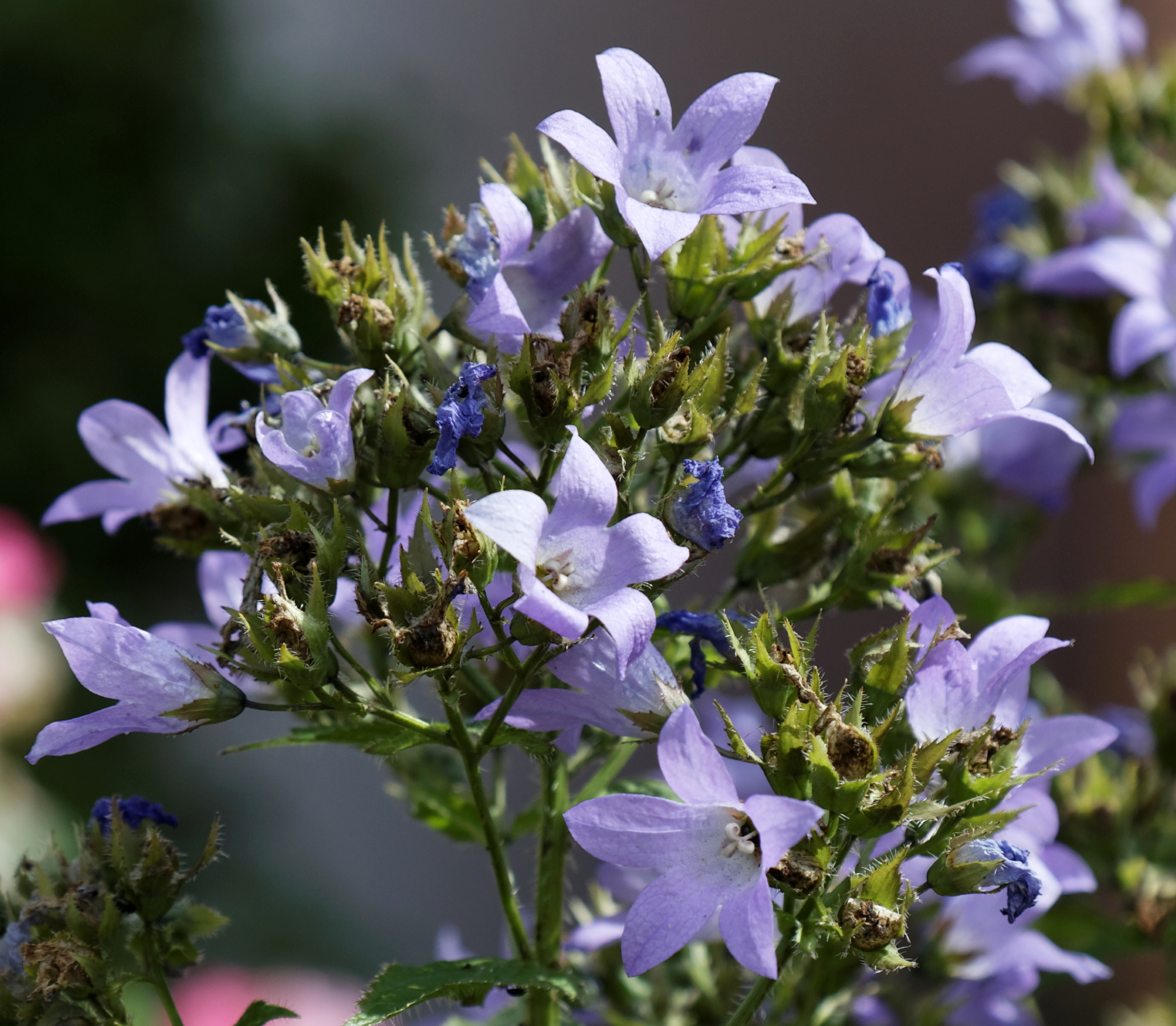 """Featured image for """"Sheena's Plant of the Month: Campanula Lactiflora"""""""