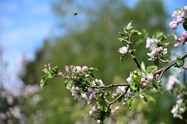 Bee friendly apple blossom