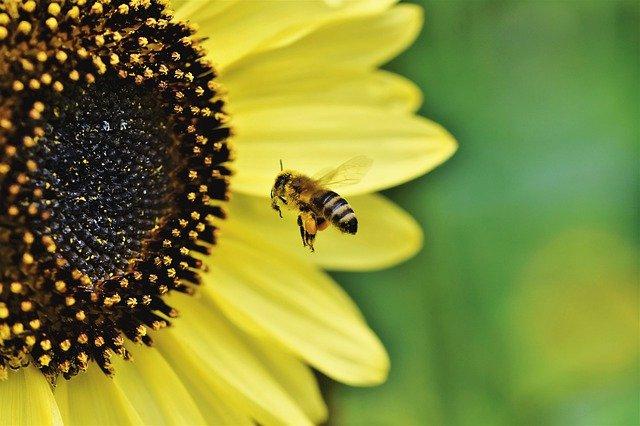 Honey bee in garden