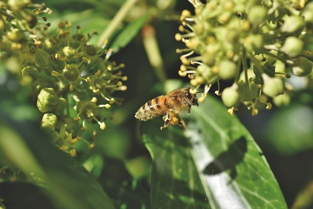 Ivy for honey bees