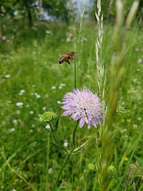 plant scabious for honey bees