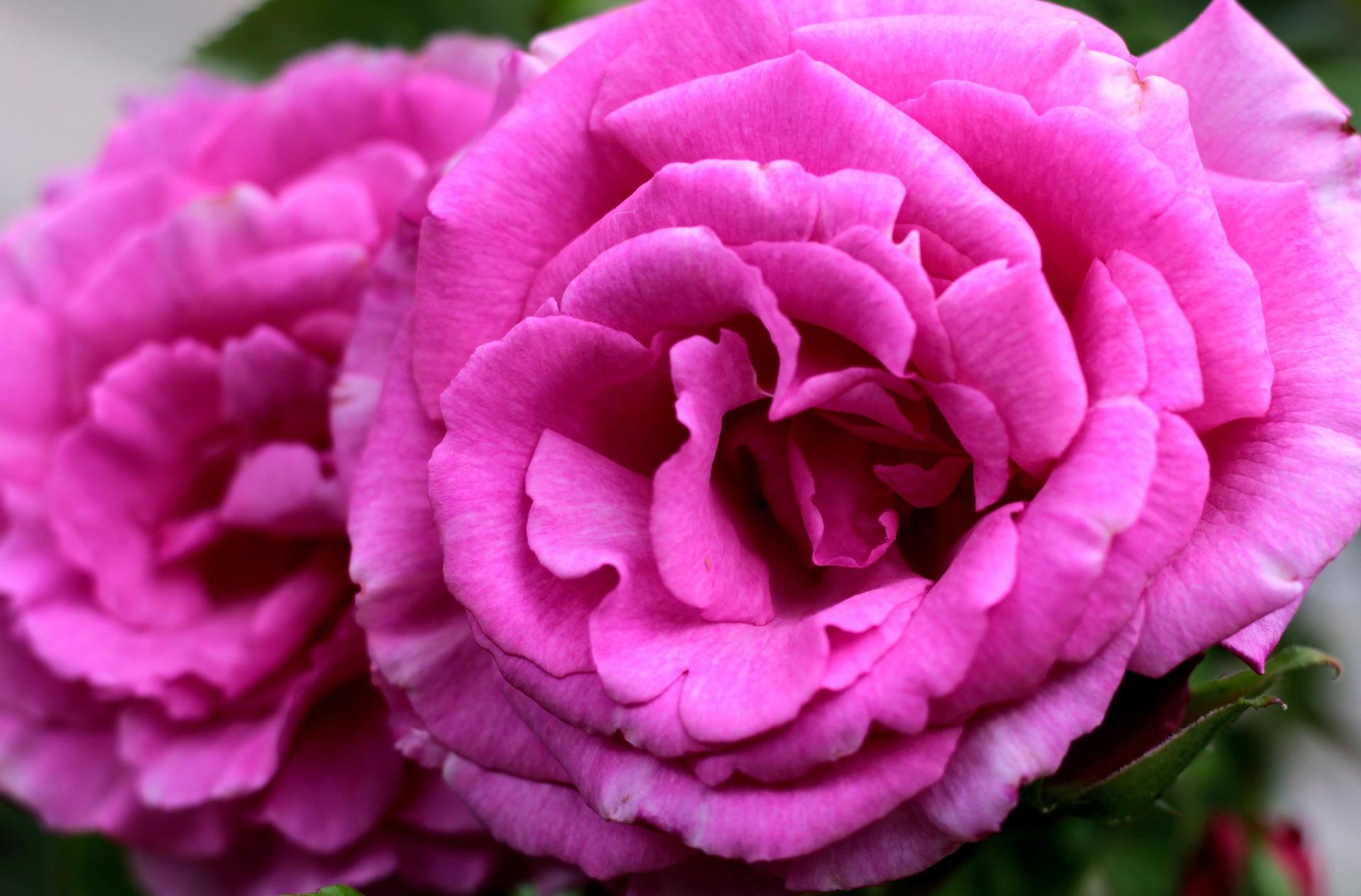 """Featured image for """"Sheena's Plant of the Month: Rosa Zephirine Drouhin"""""""