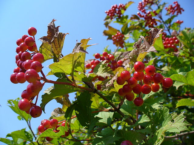 """Featured image for """"Sheena's Plant of the Month –– Virburnum opulus 'Compactum'"""""""